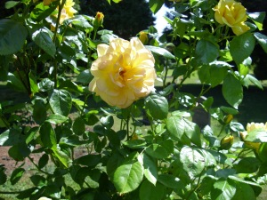 yellow rose outside gp church may 31st 09
