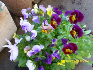 early morning pansies