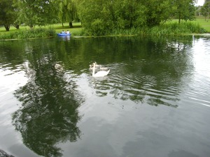 swans two