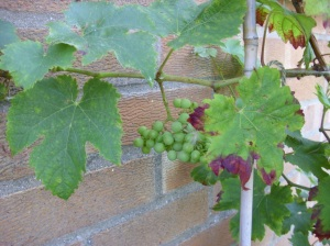 grapes on my vine!!