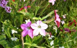 nicotiana - august 8th 09