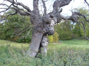 knarled old tree