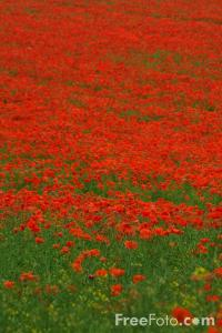 poppies - many
